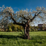 Cadolzburg blüht